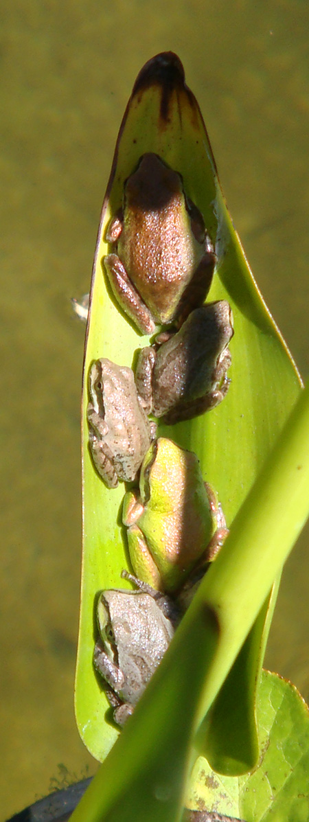 Baby frogs sunning on a leaf in Justina's garden