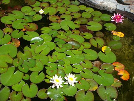lillies in my wildlife pond