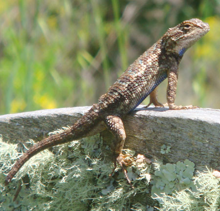 Handsome native Alligator Lizard strikes a pose in the sun